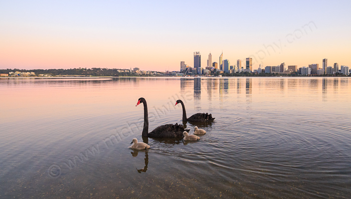 Black Swans and Cygnets on the Swan River at Sunrise, 20th September 2015