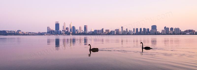 Black Swans on the Swan River at Sunrise, 26th September 2015