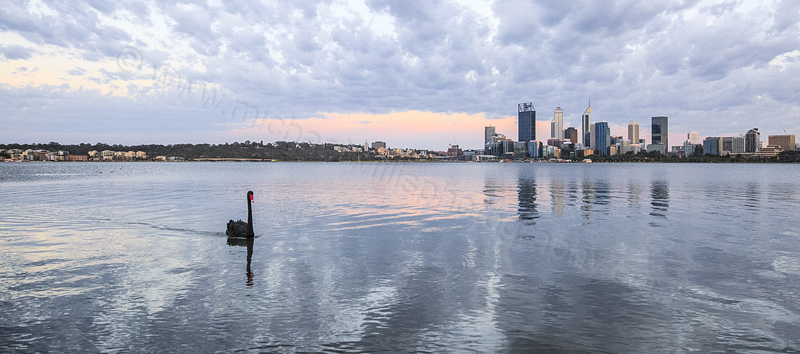 Black Swan on the Swan River at Sunrise, 2nd January 2016