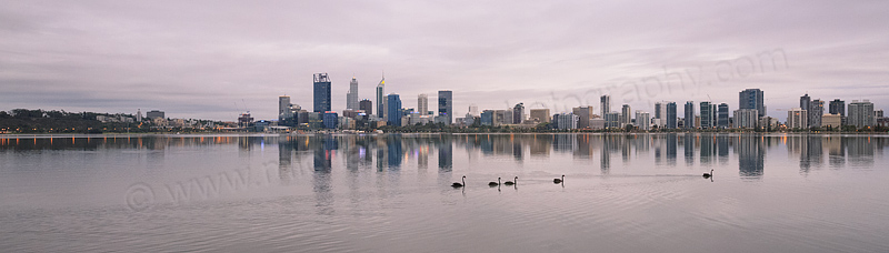 Black Swans on the Swan River at Sunrise, 31st January 2016