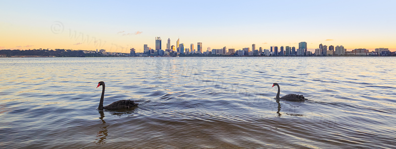 Black Swan on the Swan River at Sunrise, 13th May 2016