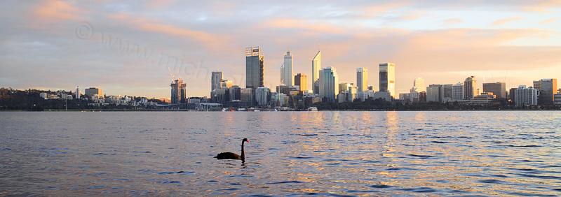 Black Swan on the Swan River at Sunrise, 26th June 2016