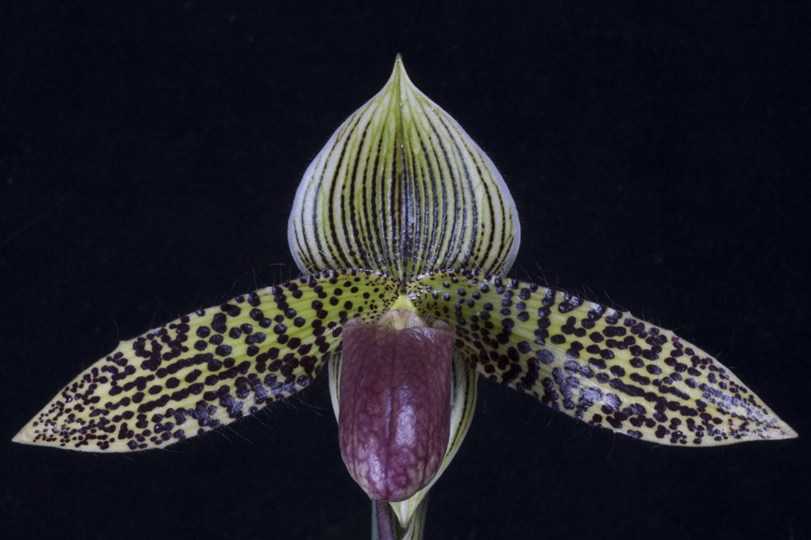 20124614  -  Paph. Hampshure Stage  Sunprarie  AM/AOS (82-points)  4-28-2012.jpg