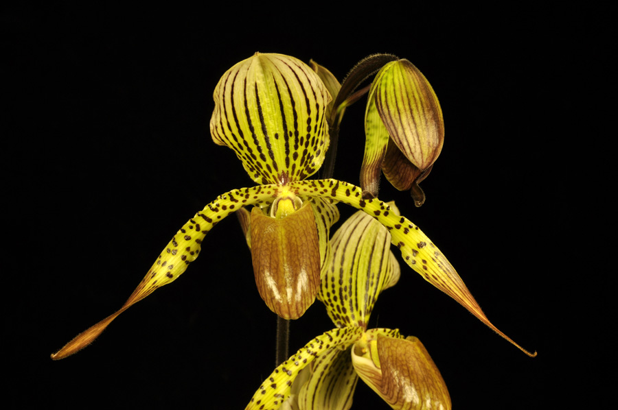 20124664  -  Paph. Houghtoniae Cats Meow  AM/AOS (81-points)  2-4-2012.jpg
