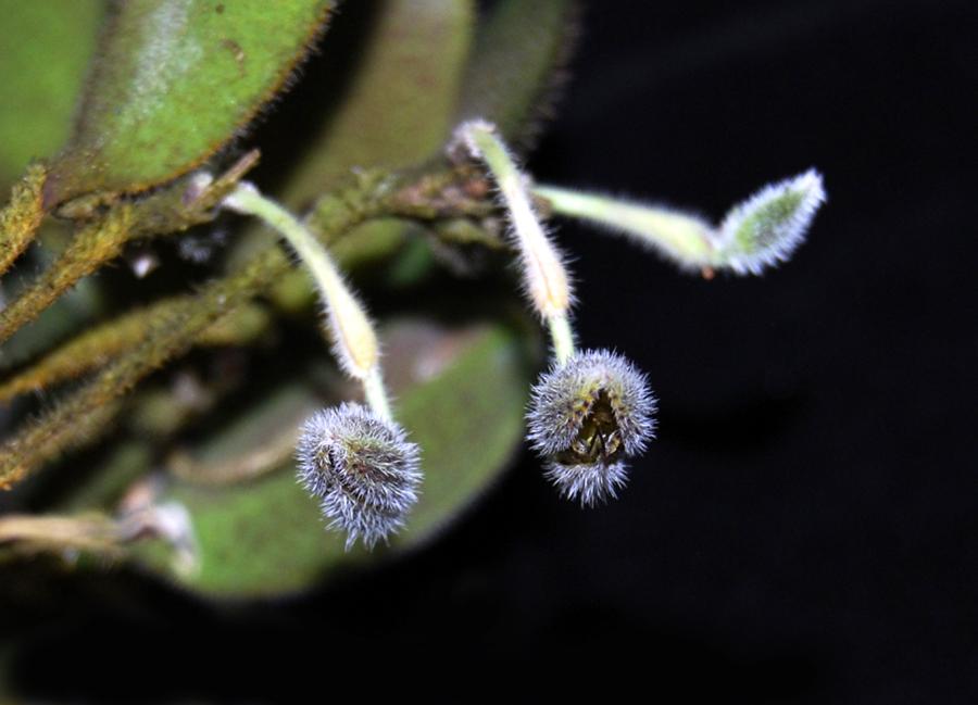 20132777  -  Dresslerella  hirsutissima   Silas  CBR/AOS  11-10-2013  Close-up