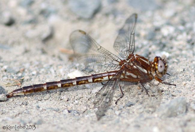 Ashy Clubtail Phanogomphus lividus