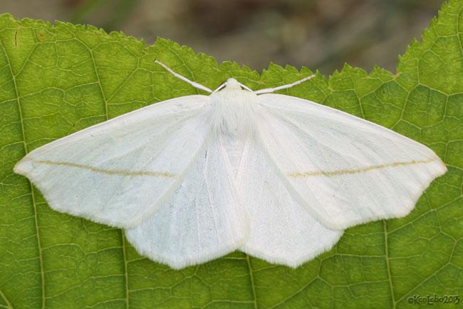 White Slant-Line Tetracis cachexiata #6964