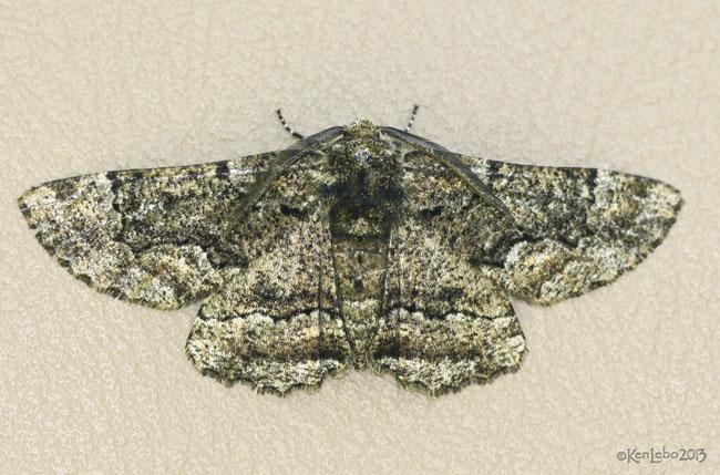 Oak Beauty Moth Phaeoura quernaria #6763
