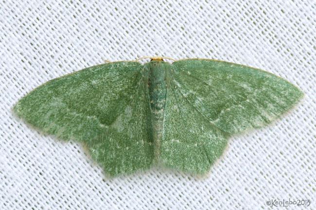 Pistachio Emerald Hethemia pistasciaria #7084