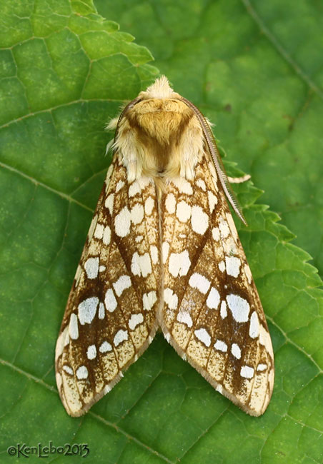 Hickory Tussock Moth Lophocampa caryae #8211