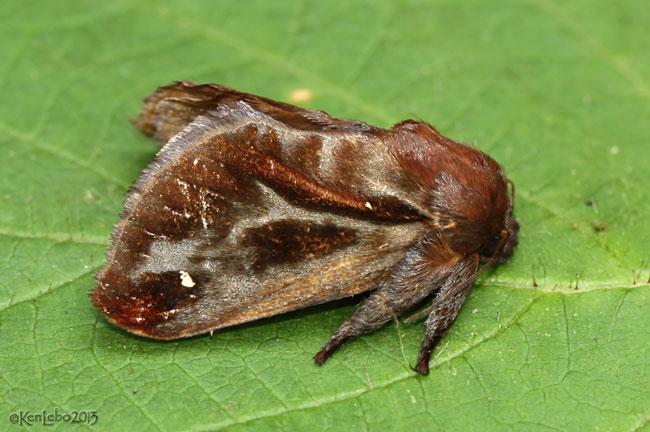Saddleback Caterpillar Moth Acharia stimulea #4700