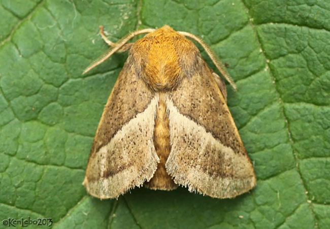Nasons Slug Moth Natada nasoni #4679
