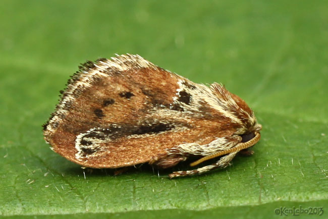 Purple-Crested Slug Moth Adoneta spinuloides #4685