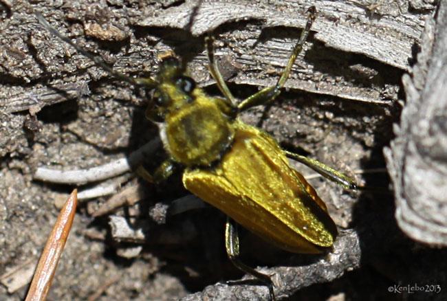Longhorned Beetle Cosmosalia chrysocoma