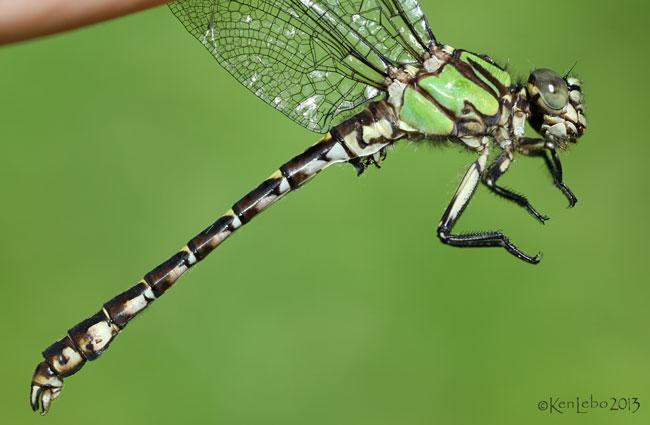 Boreal Snaketail Ophiogomphus colubrinus
