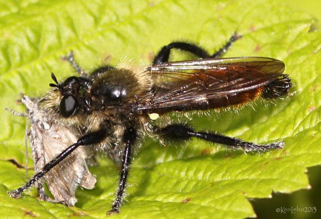 Robber Fly Laphria janus