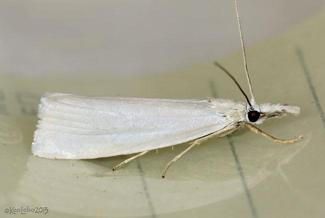 Immaculate Grass-veneer Moth Crambus perlella #5343