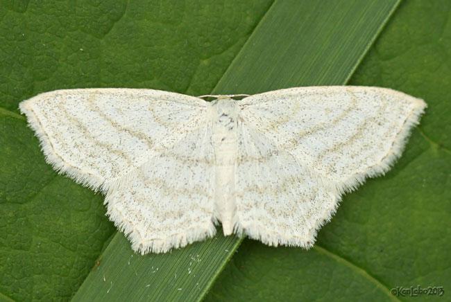 Simple Wave Moth Scopula junctaria #7164