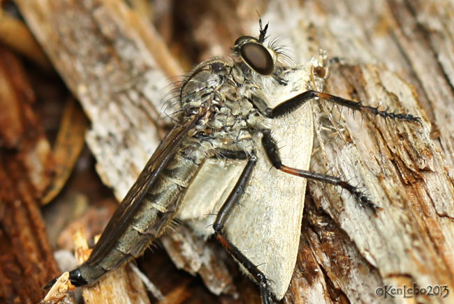 Robber Fly Machimus