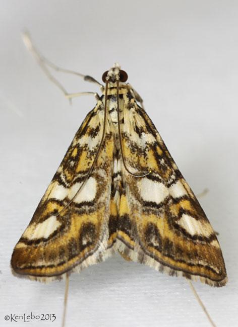 Elophila ekthlipsis #4747