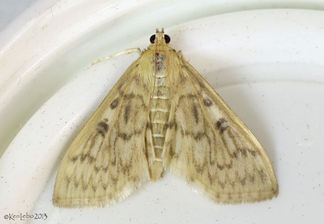 Bold-feathered Grass Moth Herpetogramma pertextalis #5275