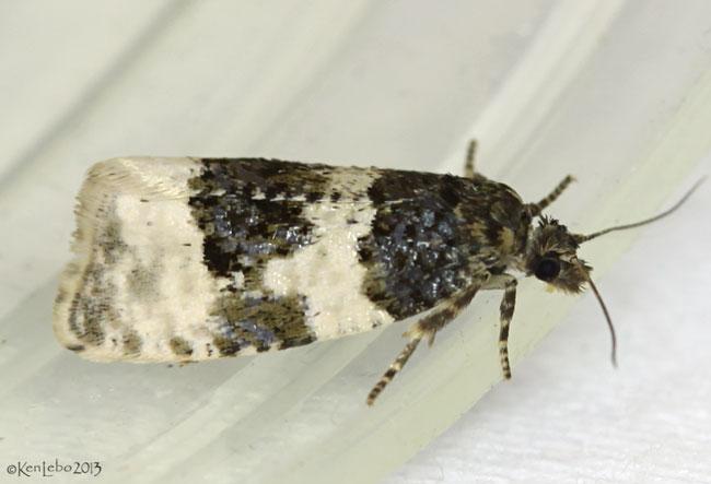 Divided Olethreutes Moth Olethreutes bipartitana #2848