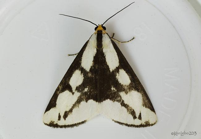 Lecontes Haploa Moth Haploa lecontei #8111