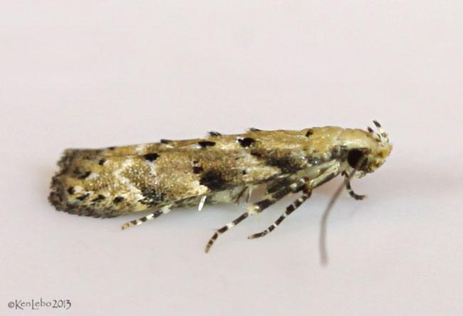 Conifer Coleotechnites Moth Coleotechnites coniferella #1803