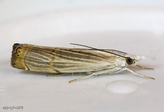 Graceful Grass-veneer Moth Parapediasia decorellus #5450