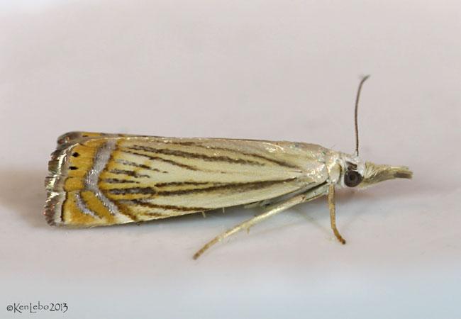Topiary Grass-veneer Moth Chrysoteuchia topiarius #5391