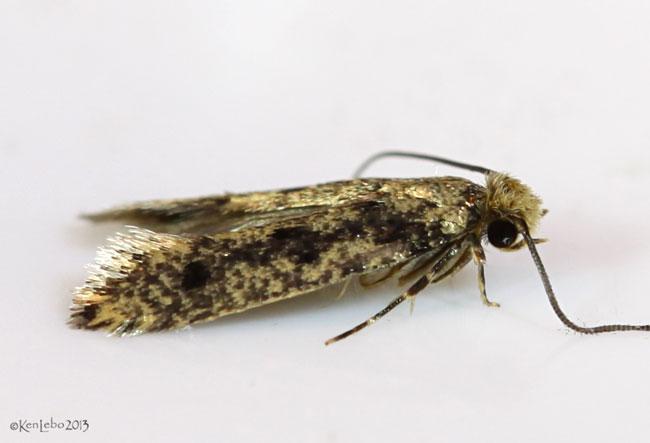 Niditinea orleansella #0412