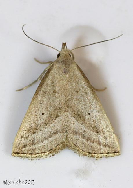 Slant-lined Owlet Moth Macrochilo absorptalis #8357