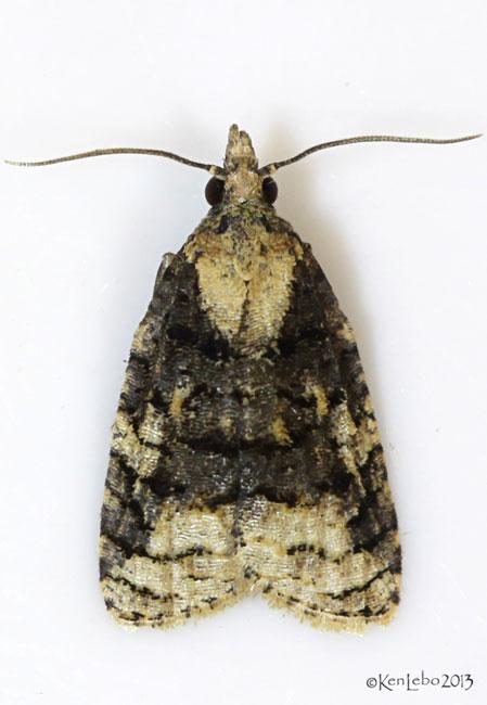 Exasperating Platynota Moth Platynota exasperatana #3743