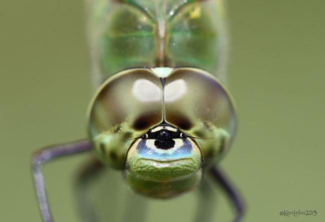 Common Green Darner Anax junius