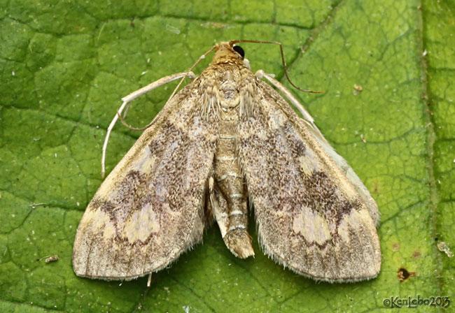 Crowned Phlyctaenia Moth Anania coronata #4953
