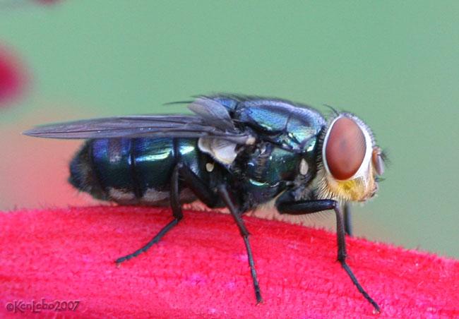 Secondary Screwworm Fly Cochliomyia macellaria
