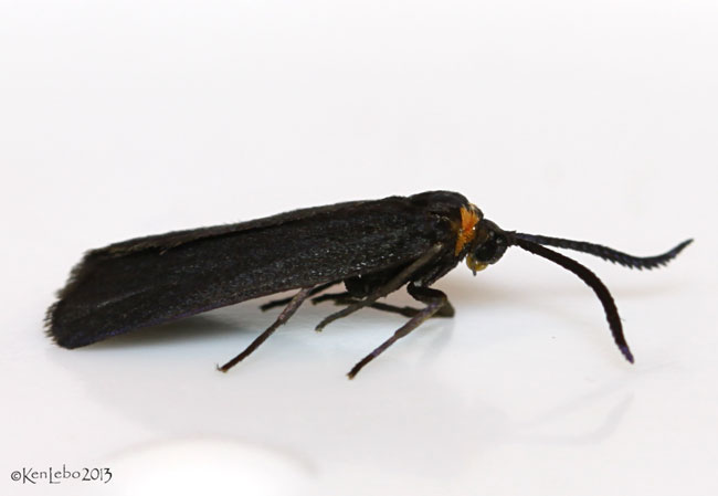 Clemens False Skeletonizer Moth Acoloithus falsarius #4629