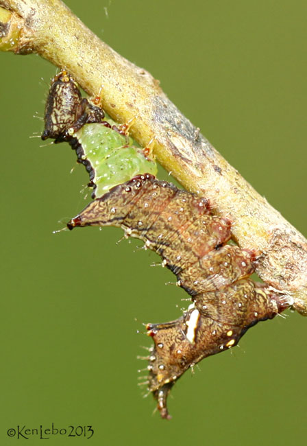 Unicorn Caterpillar