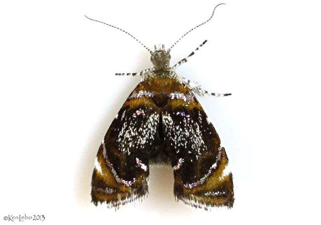 Skullcap Skeletonizer Moth Prochoreutis inflatella #2629