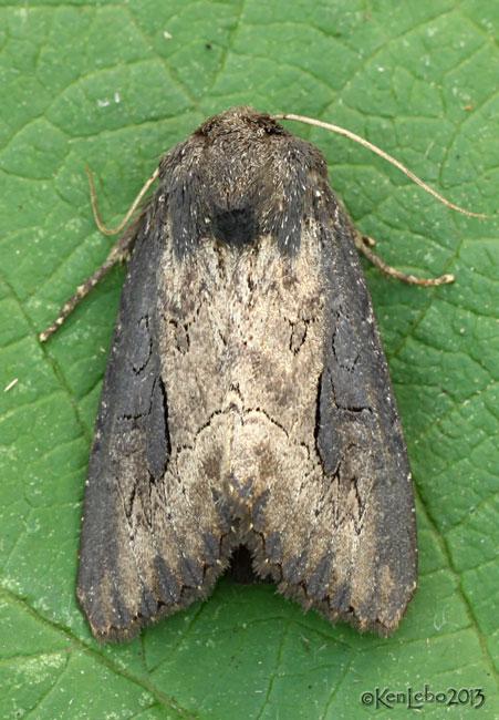 Iris Borer Moth Macronoctua onusta #9452