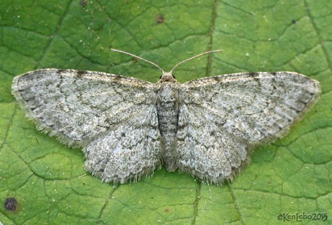Texas Gray Moth Glenoides texanaria #6443
