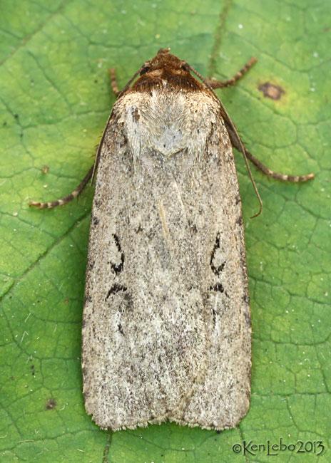 Clandestine Dart Moth Spaelotis clandestina #10926