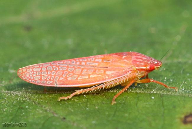leafhopper - Gyponana gladia