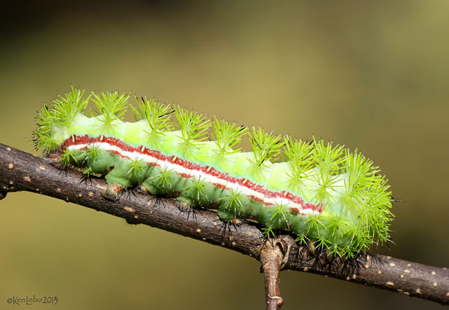 Io Moth Caterpillar Automeris io