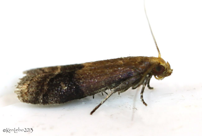 Broad-banded Eulogia Moth Eulogia ochrifrontella #5999