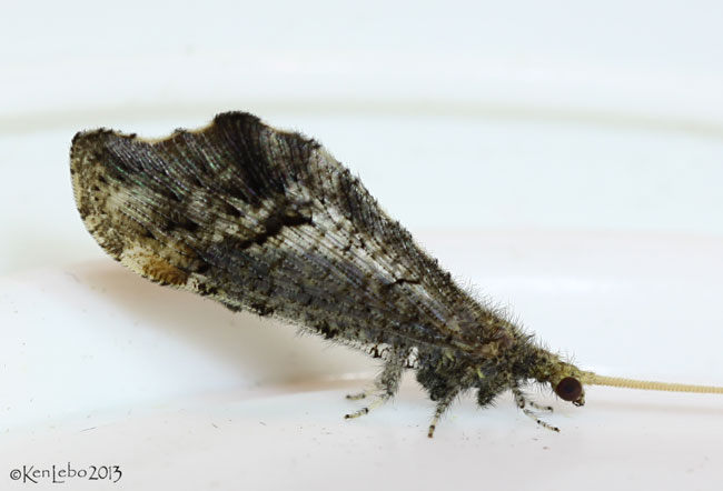 caddisfly - Lomamyia