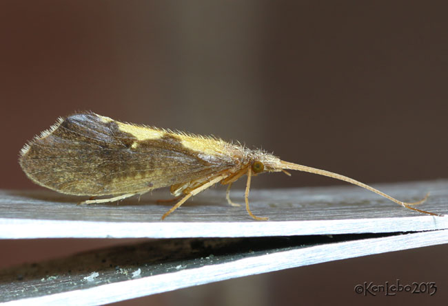 Autumn Mottled Sedges Caddisfly - Neophylax