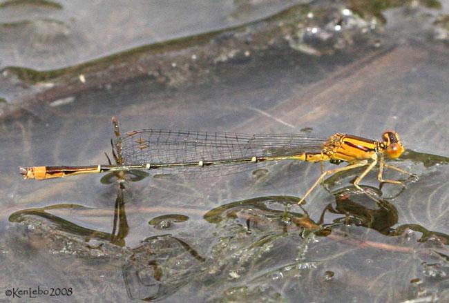 Orange Bluet Enallagma signatum
