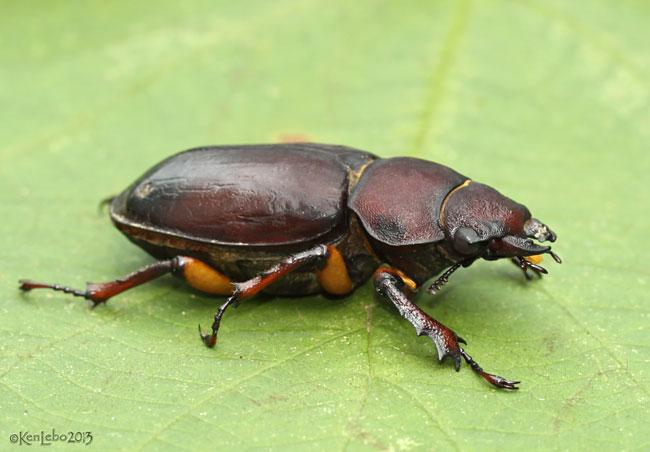 Reddish-brown Stag Beetle Lucanus capreolus