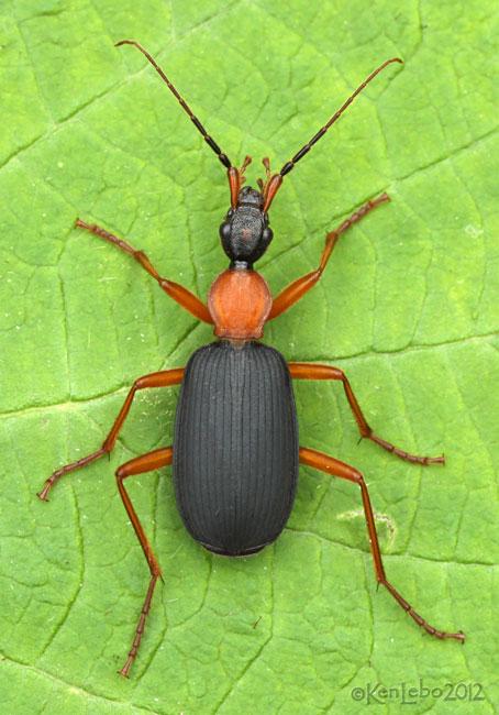 Ground Beetle Galerita